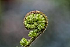 Curled Up (Vanessa wuz here) Tags: 7dwf 90mm macro macroflowers muttartconservatory fern budding edmonton curled fibonaccisequence spiral yeg green ittybitty tiny 14