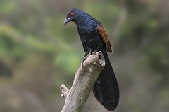Greater coucal (Centropus Sinensis) (My Pixel Magic) Tags: bird birdphotography birdofindia birdofasia cuckoobird nature wildlifephotography wildlife nikond500 tamron150600mmg2