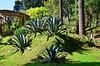 Агава (Oleg Nomad) Tags: кито эквадор ботаническийсад цветы растения орхидеи кактус зелень quito ecuador botanicalgarden flowers orchids america travel