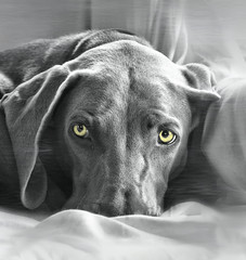 Ghost (LupaImages) Tags: eyes dog face ghost weimaraner grey yellow closeup canine pet animal indoors love