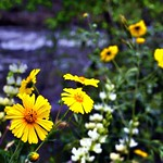 Wildflowers  and a Backdrop of the Merced River thumbnail
