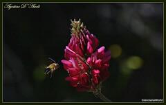 Fiore di sulla con insetto in volo - Marzo-2018 (agostinodascoli) Tags: sulla fiori nature texture insetti agostinodascoli cianciana sicilia macro