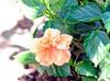 DSC_8029e ~ Hibiscus (BDC Photography) Tags: bwfpro72mmuvhaze1xfilter nikon d3 nikond3 nikonafnikkor180mmf28difedlens hibiscus flower