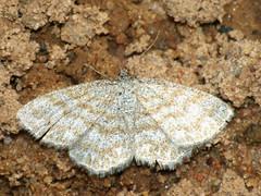 Scopula immorata - Lewes wave - Малая пяденица волнистая (Cossus) Tags: geometridae scopula sterrhinae пяденица 2009 фенёво