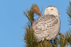 Snowy Owl (Joe Branco) Tags: photoshopcc2018 ontario canada snowyowl joebrancophotography wildlifephotography nikond850 nikon green