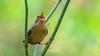 Pacific Wren (Bob Gunderson) Tags: birds pacificwren troglodytespacificus wrens goldengatepark botanicalgardens sanfrancisco singing