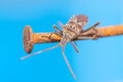 Leptoglossus occidentalis (tarjangz) Tags: austria ausztria europe európa leptoglossusoccidentalis nyugatilevéllábúpoloska poloskák österreich western conifer seed bug macro nature animal insect