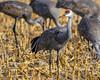 Sandhill crane (corkemup52) Tags: birds sandhillcranes crane nebraska nature nikond7000 200500 outdoors wildlife