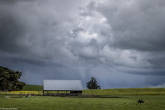 Unsettled Skies Over a Cow and Barn (allentimothy1947) Tags: califonia eucalyptus landscape petaluma sonomacounty barns buildings clouds cows flowers green light mustard rain shadow sky trees wet white cow bovine dairy violent weather hay