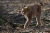 Europäischer Luchs - auf leisen Pfoten durch den Wald... (Frank Güldner) Tags: wildparkgangelt zoowildpark luchs