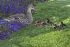 Mallard duck with ducklings jn110245 (JaniceNolan_braud) Tags: allamericanroad anasplatyrhynchos anatidae anseriformes babies lasvegas lasvegasblvd lasvegasboulevard lasvegashotelsandcasinos lasvegasnevada lasvegasstrip mallardduck mirage miragelasvegas nevada northamerica themirage thestrip unitedstates wildduck architecture babybird babybirds babyduck bird birds building casino city colorful creativity dabblingduck duck duckling ducklings ducks entertainment famousstreet fun funcity gambling gamblingmecca hotel lake landscape metropolitan street style theme themes unique urban water wildlife