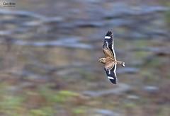 Least Nighthawk (Chordeiles pusillus)