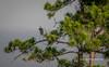 Pine Tree Heron (tclaud2002) Tags: heron blueheron greatblueheron bird wadingbird wildlife animalk perch perched tree pine pinetree nature mothernature outdoors greatoutdoors pineglades naturalarea pinegladesnaturalarea jupiter florida usa