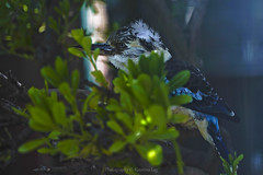 hide and seek... (@Katerina Log) Tags: bird hide outdoor depthoffield bokeh florafauna foliage katerinalog nature natura tree feathers beak wild wildlife wings wood closeup colour portrait attikazoopark athens greece griechenland sony sonyilce9 fe70200mmf4goss macro