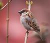House sparrow (hedera.baltica) Tags: sparrow housesparrow wróbel wróbeldomowy wróbelzwyczajny passerdomesticus