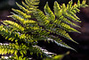 Backlit Ferns (Brian Xavier) Tags: backlight backlit bokehbackgroundd fern ferns green hiking light optoutside outdoors signsofspring spores spring sunlight macro plant