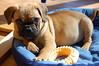 Brutus (hollyzade) Tags: dog puppy pug puggle cute adorable small resting toy nikond40 nikon daytime pet pets