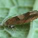Eucosma conterminana - Lettuce tortricid - Листовёртка салатовая