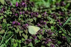 le premier (citron) (cedric.simonot) Tags: nature papillon citron nikond7000 90mm28