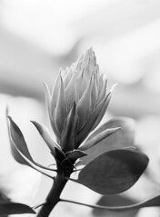 Botanisk Have (holtelars) Tags: pentax 645 pentax645 645n 6x45 smcpentaxa 120mm f40 macro 120 film 120film foma fomapan fomapan100 fomapan100professional 100iso mediumformat analog analogue blackandwhite classicblackwhite bw monochrome filmforever ishootfilm filmphotography xtol homeprocessing larsholte denmark danmark flower closeup botanicalgarden botaniskhave copenhagen københavn proteacynaroides