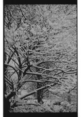 P60-2018-002 (lianefinch) Tags: argentique argentic monochrome blackandwhite blackwhite bw noirblanc noiretblanc nb nature analogique arbre tree analog jardin garden hiver winter snow neige frozen gelé