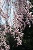 Sakura (Frau Koriander) Tags: sakura kirschblüten kirschblüte cherryblossom cherryblossomtree tree treebranches äste zweige pink rose spring frühling baum blühenderbaum palmengarten palmengartenfrankfurt nikond300s japanese nature natur flora frankfurtammain frankfurt hessen dof bokeh light nikkoraf60mmƒ28 60mm hängend bloom blooming blossom blossoms