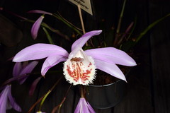 Pleione Kilauea x albiflora (Nurelias) Tags: beautiful color colorful d7100 nikon fleur flora flore flores flower flowers forest macro makro orchid orchidaceae orchidales orchidee orchideen orchids orquidea photography rainforest tropical exhibition international dresden
