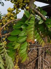 Phyllanthus acidus (L.) Skeels Phyllanthaceae (Euphorbiaceae) Phyllanthoideae Phyllantheae-star gooseberry, มะยม (SierraSunrise) Tags: esarn euphorbiaceae fruittrees isaan nongkhai phonphisai phyllanthaceae plants thailand trees