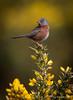 Posing Dartford Warbler (Yogibear44) Tags: arne dorset uk