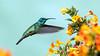 IMG_4692  Lesser Violetear_hummingbird (ashahmtl) Tags: lesservioletear greenvioletear hummingbird colibricyanotus fincalerida boquete chiriquiprovince panama