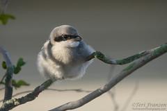 Downy Puffball Shrike (tkfranzen) Tags: loggerheadshrike laniusludovicianus birdsofflorida puntagordafl florida songbird shrike tnclivenature animalplanet fledgling
