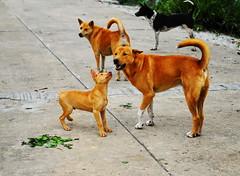 ,, Gentle Touch ,, (Jon in Thailand) Tags: dogs puppy rocky mama legsthezoomer k9 k9s jungle themonkeytemple concreteroad dogtails curveddogtails smilingdog happydog happydogs dogexpressions dogears 4dogs funnydogs fundogs sillydogs dog tiretracks littledoglaughedstories