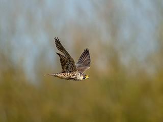 Peregrine Falcon - Spring evening