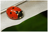 Ladybird On A Feather. (vegetus aer) Tags: raveleywood wildlifetrust bcnwildlifetrust cambridgeshire wildlife ladybird feather a77m2 sigma 105mm macro
