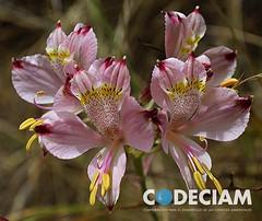 4 Alstroemeria spp - Proyecto Santuario de la Naturaleza Quebrada de Córdova, Región de Valparaíso, Chile