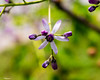 Hanging Star (that_damn_duck) Tags: nikon nature vine petals stems blossom blooming bulbs