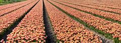 Tulips76