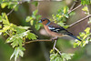In the shade (DavidHowarthUK) Tags: oldmoor southyorkshire rspb april 2018 chaffinch fringillacoelebs