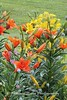 Benton Daylilly Farm (12) (Framemaker 2014) Tags: benton daylily farm garden flowers columbia county pennsylvania endless mountains united states america