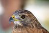 Red Shouldered  Hawk (Gatorgirl51) Tags: red shouldered hawk bird prey rescue