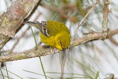 Pine Warbler (jt893x) Tags: 150600mm bird d500 jt893x nikon nikond500 pinewarbler setophagapinus sigma sigma150600mmf563dgoshsms songbird warbler alittlebeauty coth thesunshinegroup coth5 sunrays5