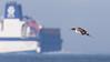 Spießente (Northern Pintail) im Abflug (oliver_hb) Tags: spiesente ente vogel cuxhaven nordsee