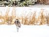 4.16.2018 Another snowbird (Kristine Runner) Tags: southernkettle sandhillcranes snow