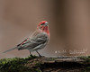 House Finch (Bill McDonald 2016) Tags: finch house red male wwwtekfxca perching perched perch branch mossy moss grenfellweeblycom billmcdonald ontario canada 2018 april