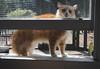 Jimmy (rootcrop54) Tags: jimmy orange tabby male longhaired open window cat enclosure windowsill neko macska kedi 猫 kočka kissa γάτα köttur kucing gatto 고양이 kaķis katė katt katze katzen kot кошка mačka gatos maček kitteh chat ネコ