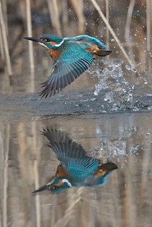 Kingfisher diving / Eisvogel beim baden