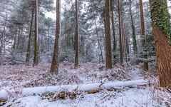 Snowy Woods (nicklucas2) Tags: snow landscape seasons spring tree pine