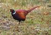 Cock Pheasant (eric robb niven) Tags: ericrobbniven scotland pheasant cock wildlife nature dunkeld perthshire