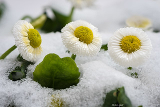Three daisies in the snow