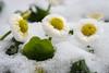Three daisies in the snow (Peter Goll thx for +7.000.000 views) Tags: erlangen germany dechsendorf daisy gänseblümchen flower blume schnee snow nikon nikkor d750